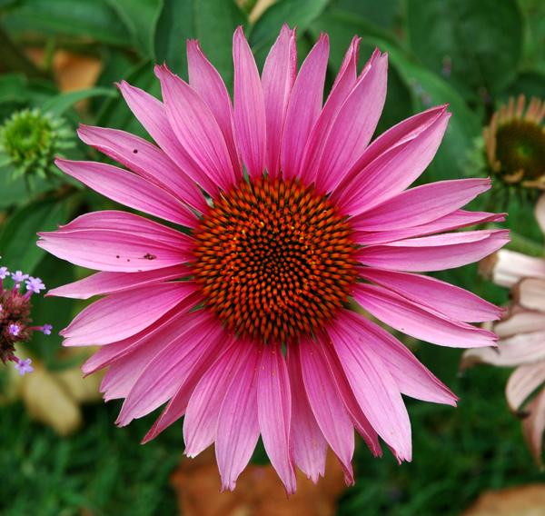 fleurs/tournesol_rose